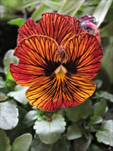 tiger-eyes-viola