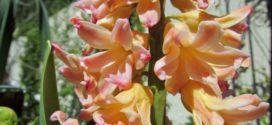 Hyacinth – Apricot Sunset