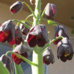 persian-fritillary