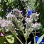 phacelia-californica