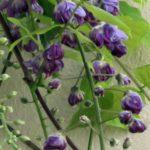 wisteria-2017-closeup-web