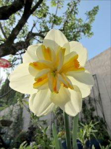 daffodil-double
