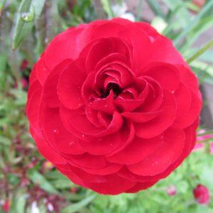 icelandic-poppy-1
