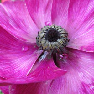 icelandic-poppy-2