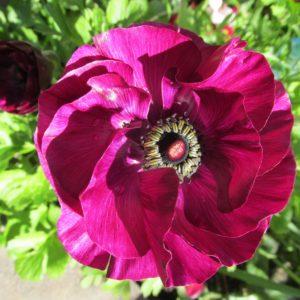icelandic-poppy-4