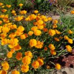 cal-poppies