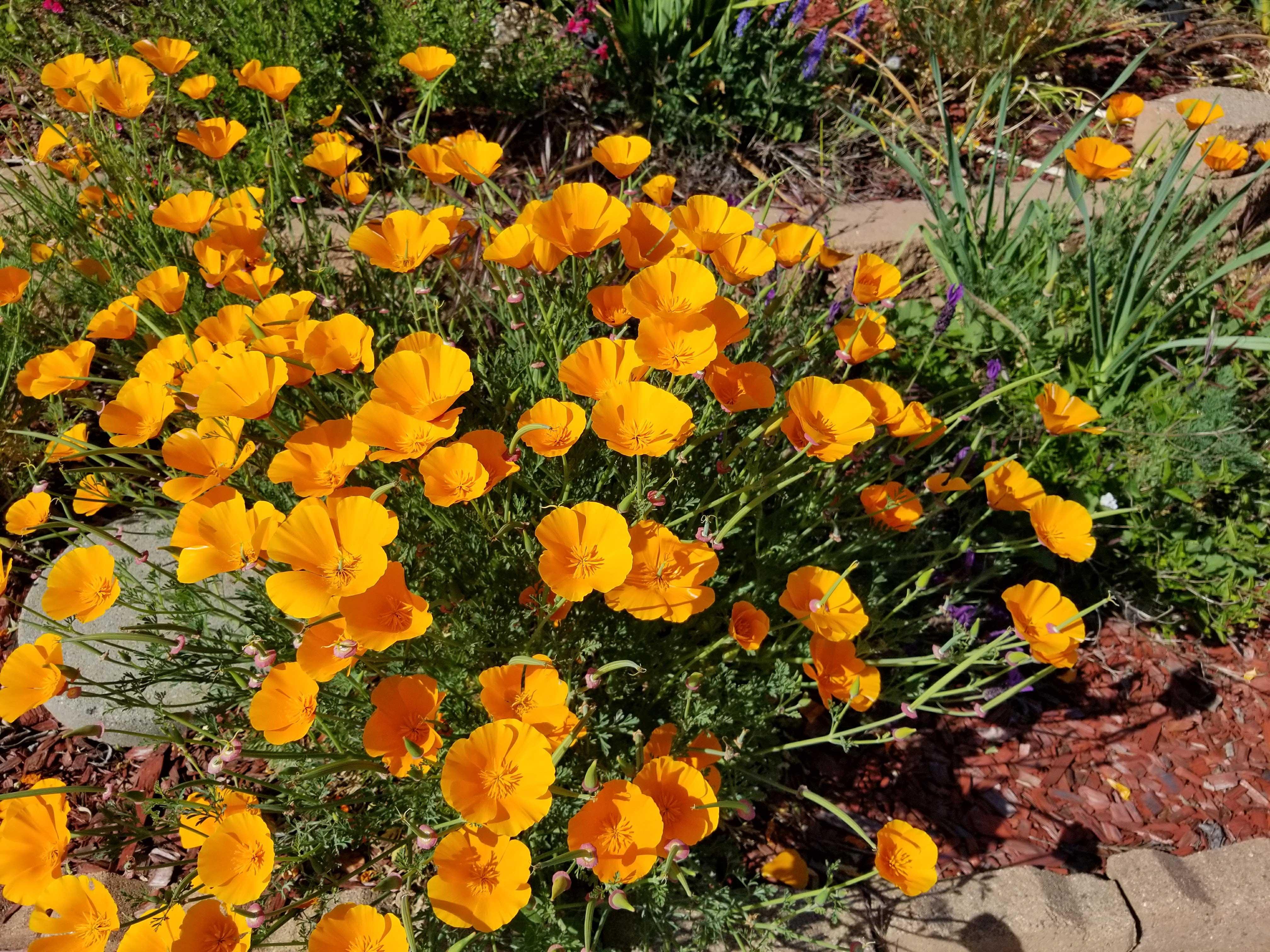 This Sunnyvale Garden April 2017 Sunnyvale Garden