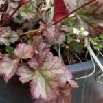 coral-bell-leaves