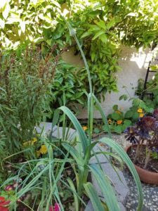 garlic-scape