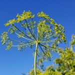 fennel-head