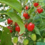 grape-tomato