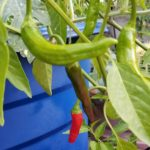 ripe-red-chile