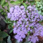 blue-throatwort