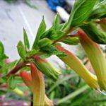cigar-plant