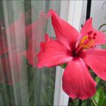 hibiscus-reflection