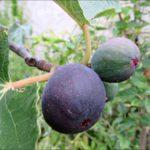 mission-figs-on-tree