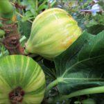 panache-figs-2017