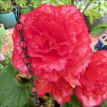 pink-tuberous-begonia