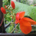 scarlet-bean-blossom