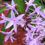 society-garlic-flowers