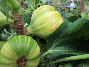 panache-fig-fruit-on-tree