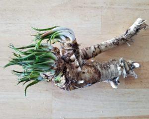 horseradish-1-root