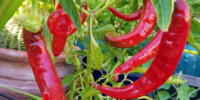 Sweet Bergamo Italian pepper