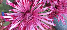 Chrysanthemum 'Pittsburg Purple'
