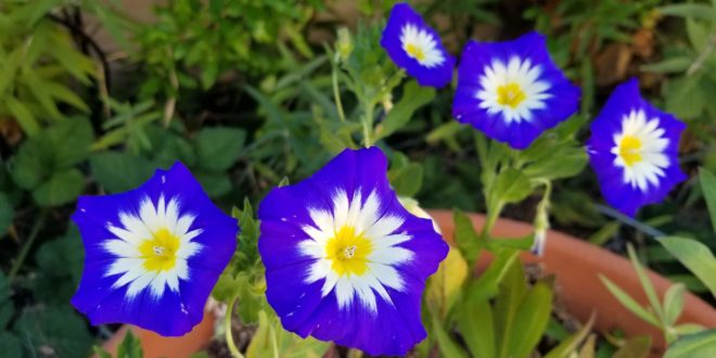 Blue Ensign Morning Glory